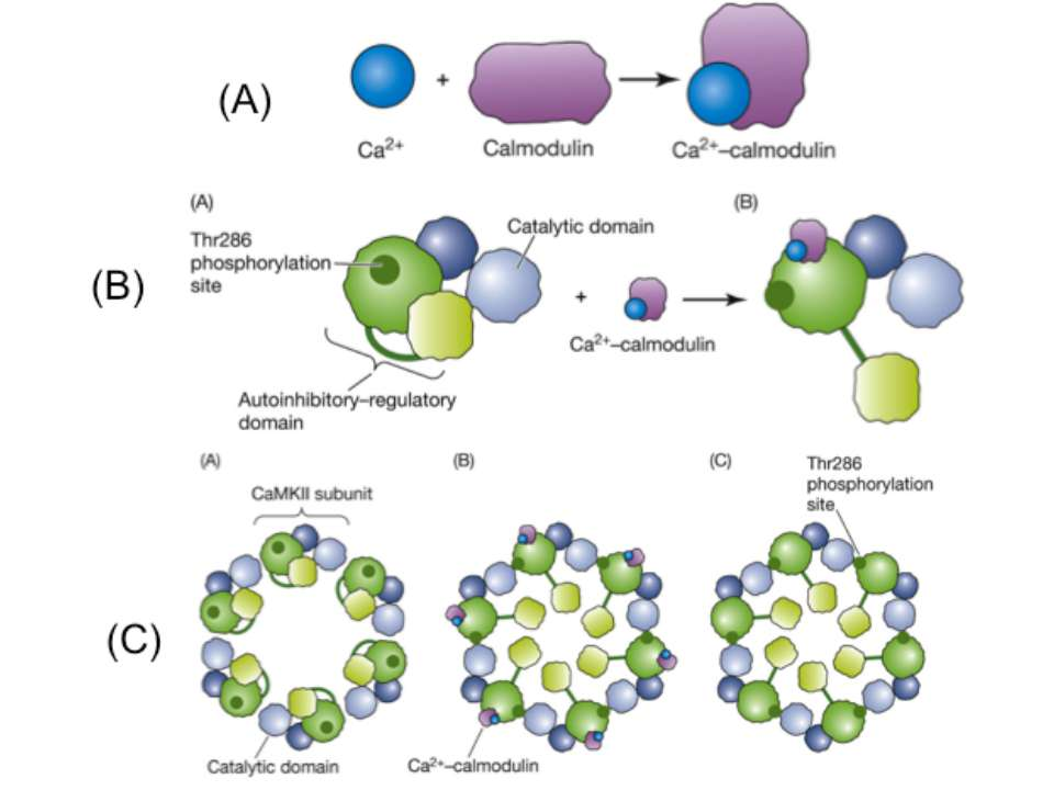 A.Calmodulin serves as a surrogate for second-messenger calcium and undergoes...