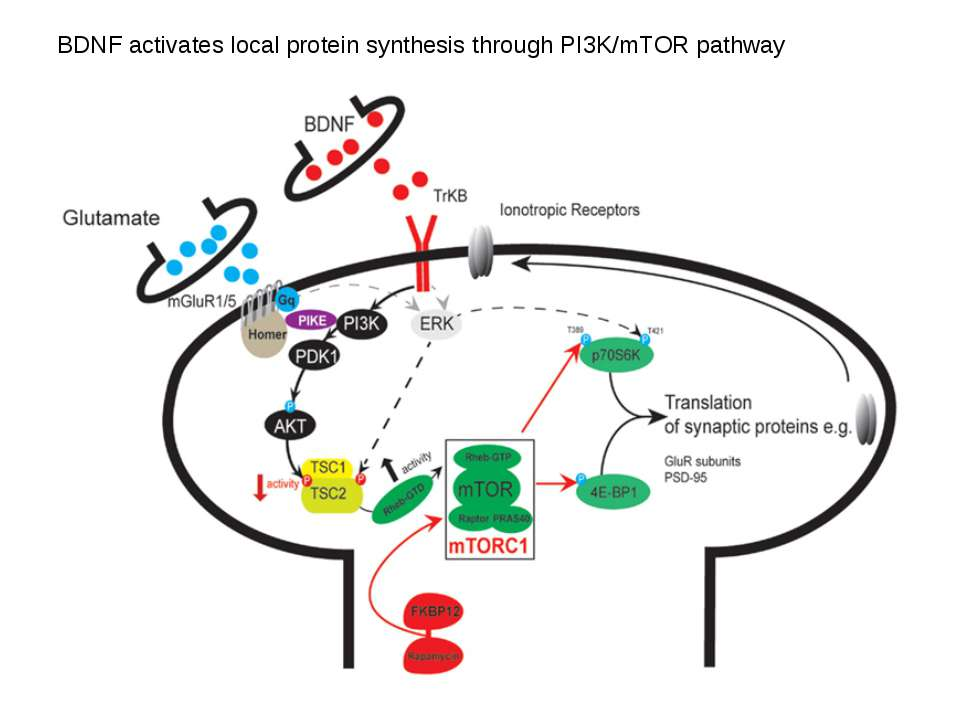 BDNF activates local protein synthesis through PI3K/mTOR pathway