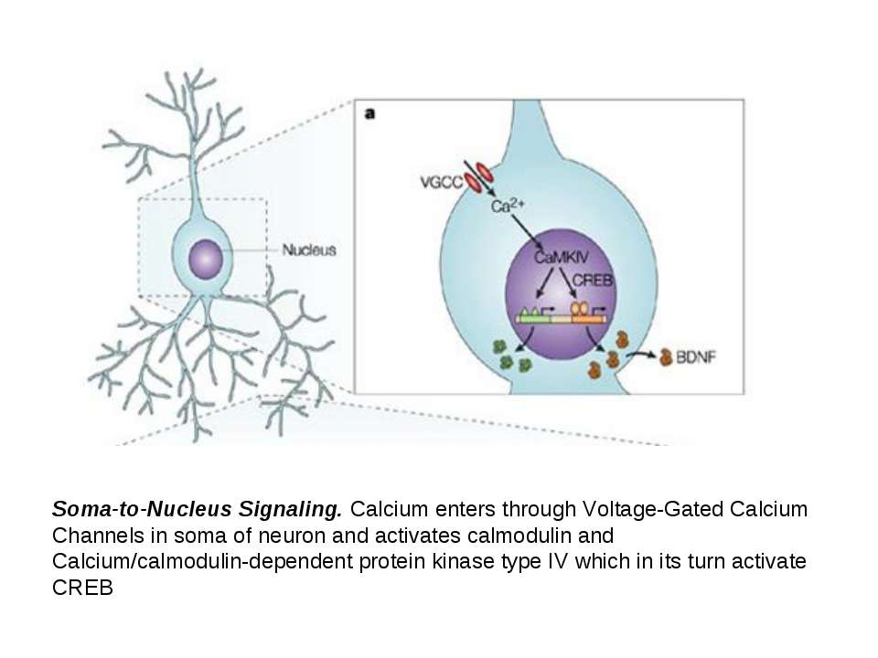 Soma-to-Nucleus Signaling. Calcium enters through Voltage-Gated Calcium Chann...