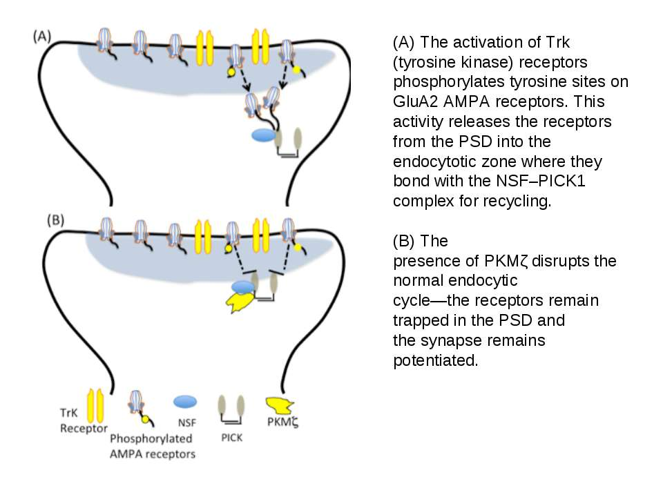 (A) The activation of Trk (tyrosine kinase) receptors phosphorylates tyrosine...
