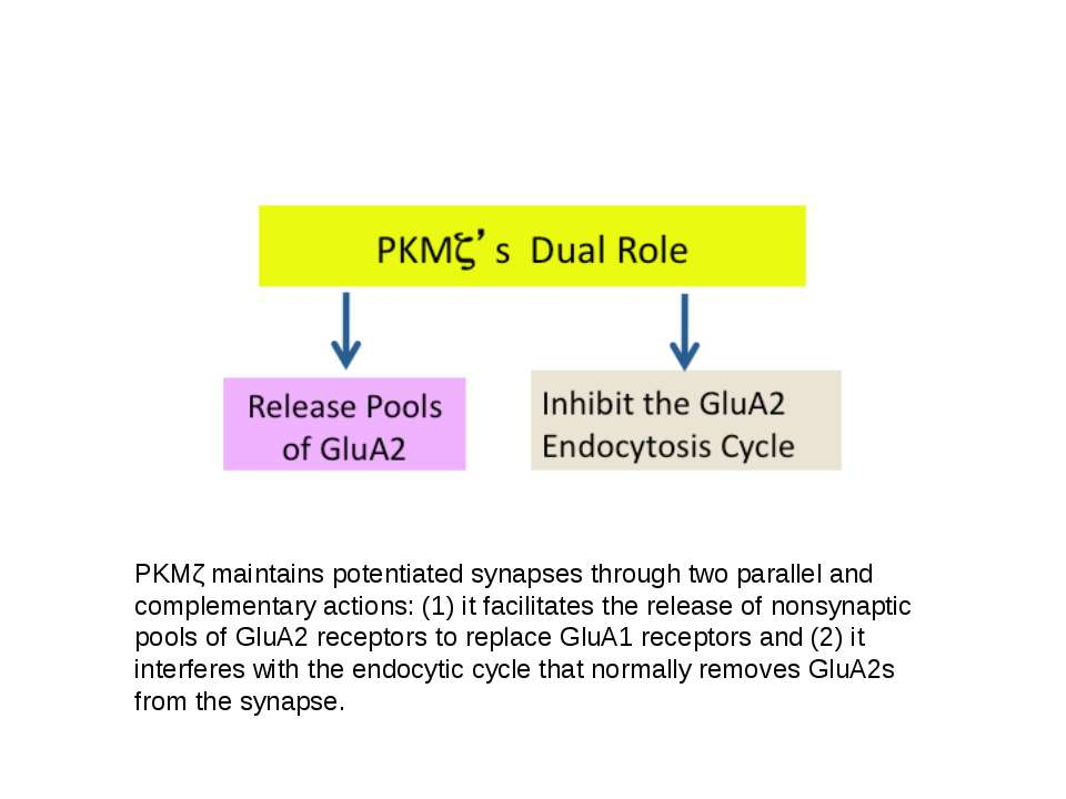 PKMζ maintains potentiated synapses through two parallel and complementary ac...