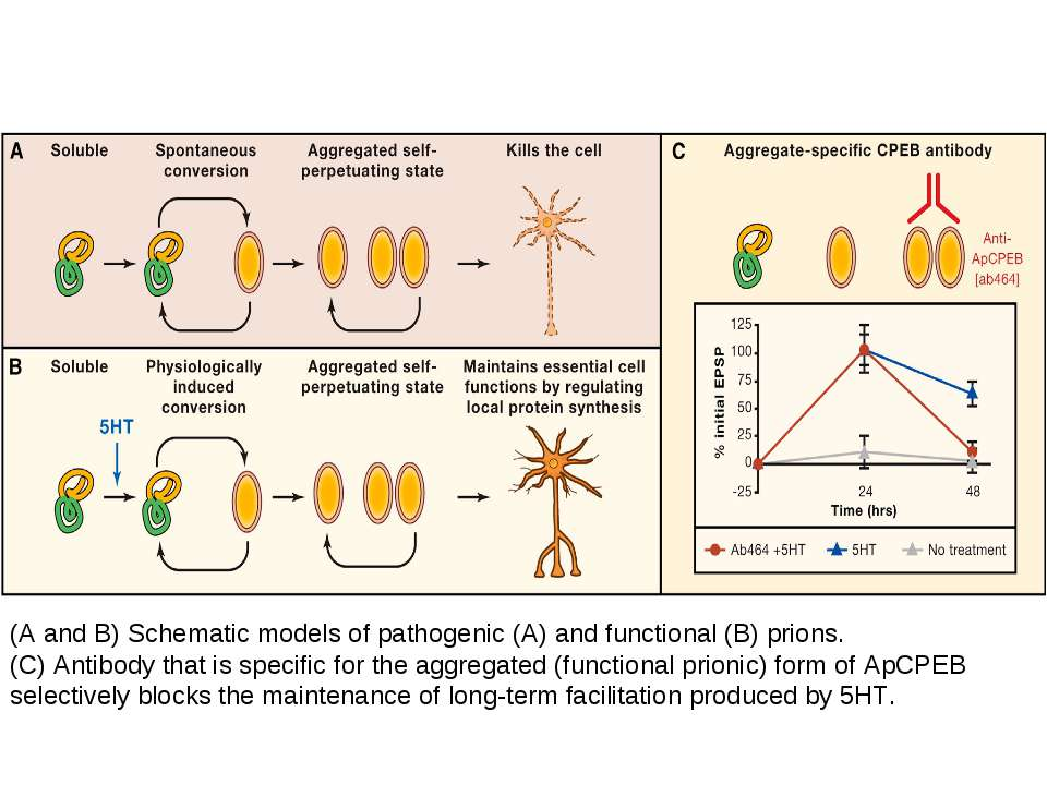 (A and B) Schematic models of pathogenic (A) and functional (B) prions. (C) A...