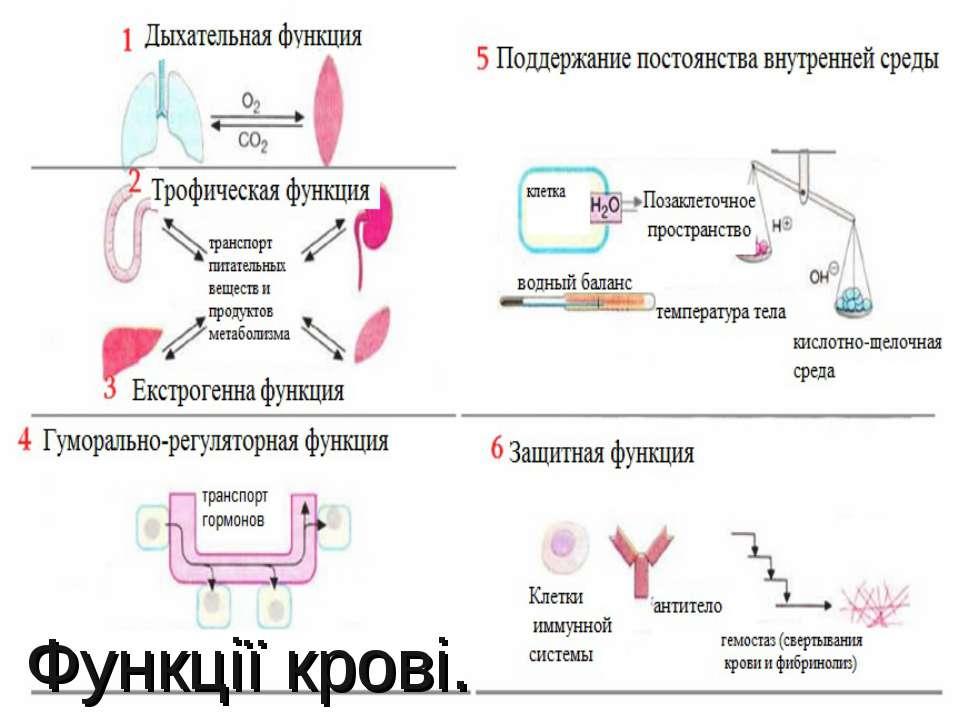 Функції крові.