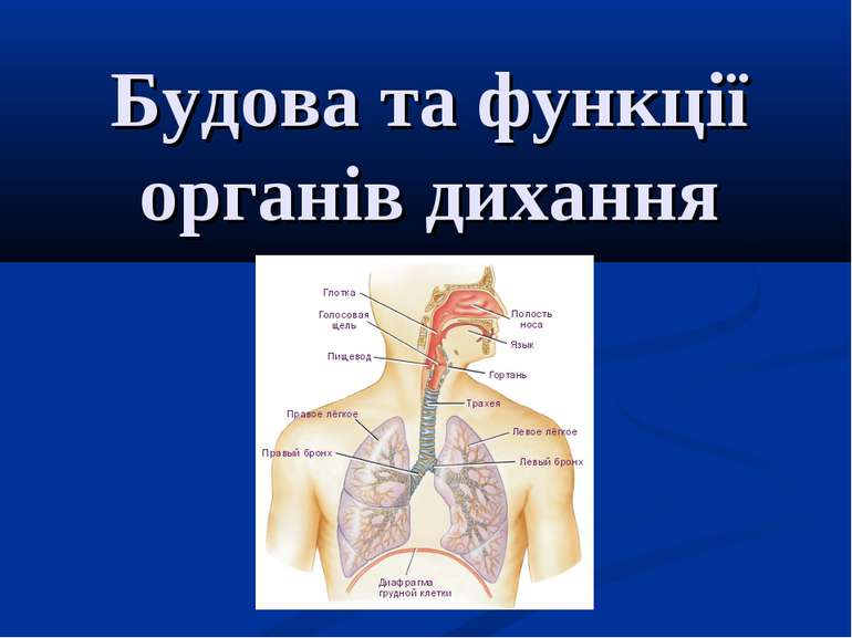 Будова та функції органів дихання