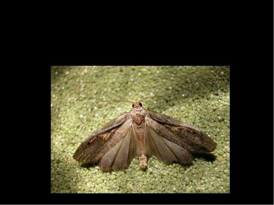Ряд – Lepidoptera(Лускокрилі) Родина – Pyralidae (Вогнівки) Вид – Paralipsa g...