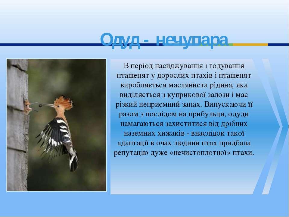 Одуд - нечупара В період насиджування і годування пташенят у дорослих птахів ...
