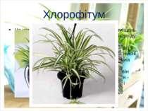Хлорофітум Це чемпіон серед квітів по оздоровленню приміщень. Такі рослини ко...