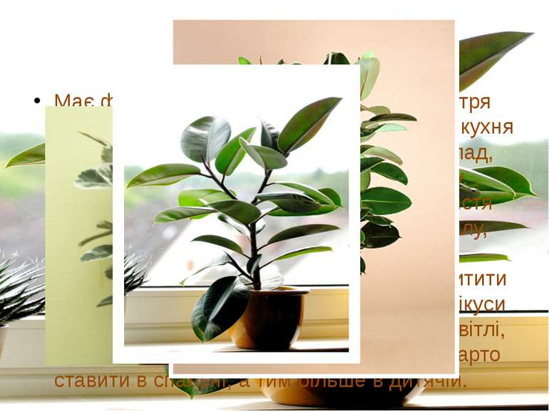Фікус Має фітонцидні властивості, очищає повітря від токсинів, тому саме місц...