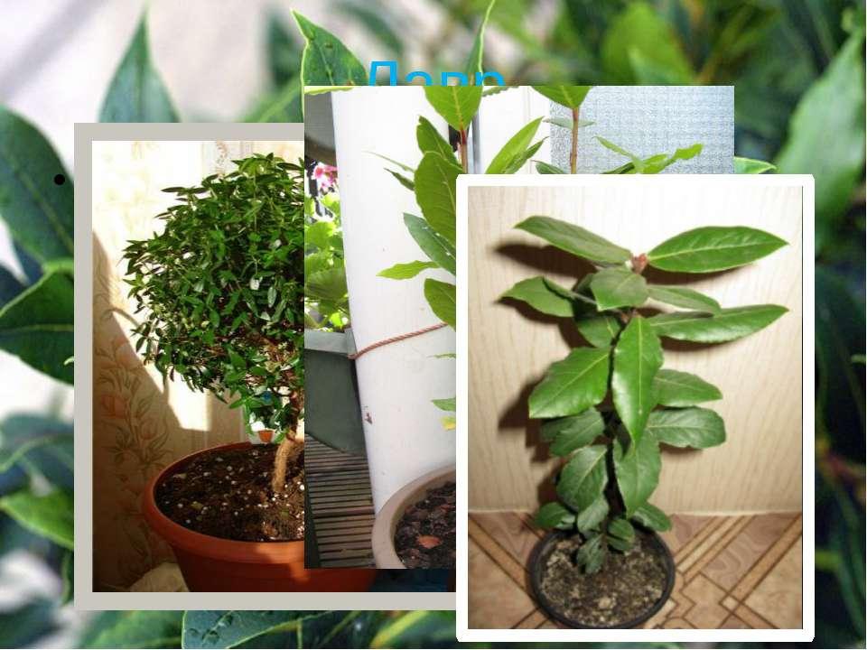 Лавр Корисно вирощувати в спальні. Цей невеликий вічнозелений чагарник вбиває...