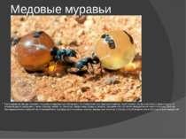 Медовые муравьи Таких муравьев иногда называют «живыми складскими контейнерам...