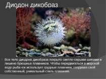 Диодон дикобраз Все тело диодона дикобраза покрыто светло-серыми шипами и лиш...
