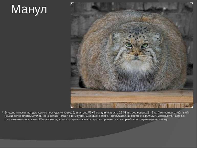 Манул Внешне напоминает домашнюю персидскую кошку. Длина тела 52-65 см, длина...