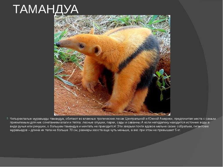 ТАМАНДУА Четырехпалые муравьеды тамандуа, обитают во влажных тропических леса...