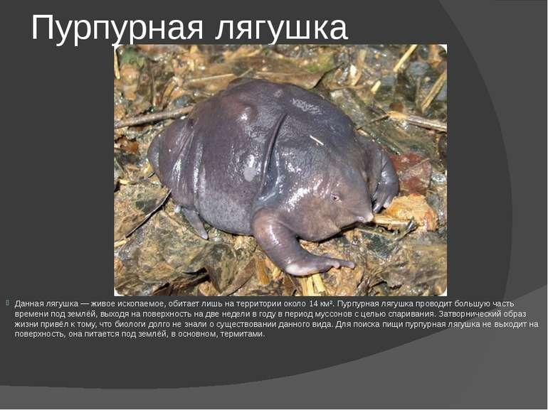 Пурпурная лягушка Данная лягушка — живое ископаемое, обитает лишь на территор...