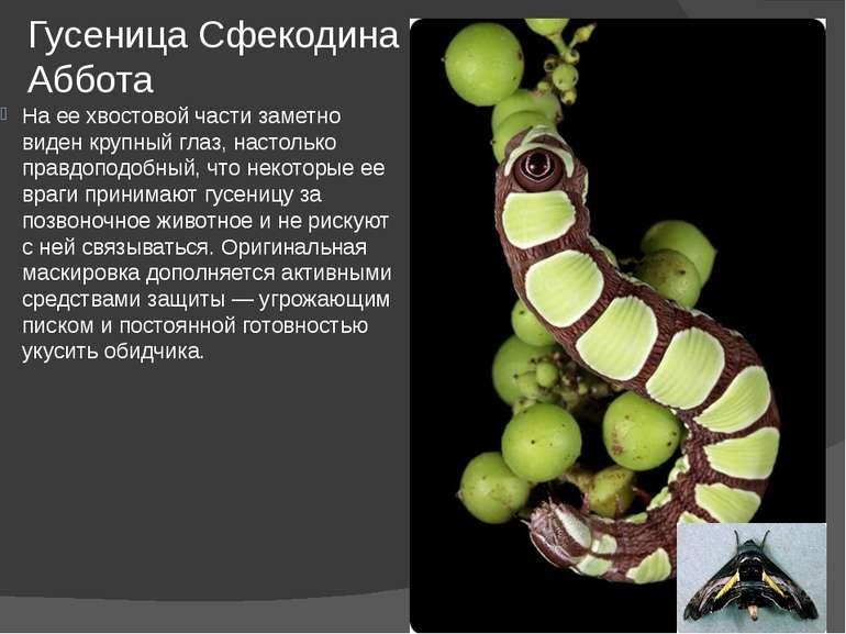 Гусеница Сфекодина Аббота На ее хвостовой части заметно виден крупный глаз, н...