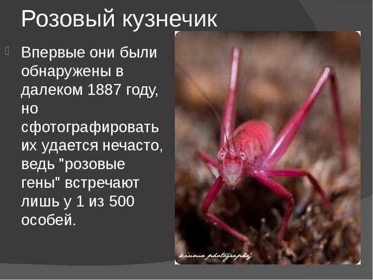 Розовый кузнечик Впервые они были обнаружены в далеком 1887 году, но сфотогра...