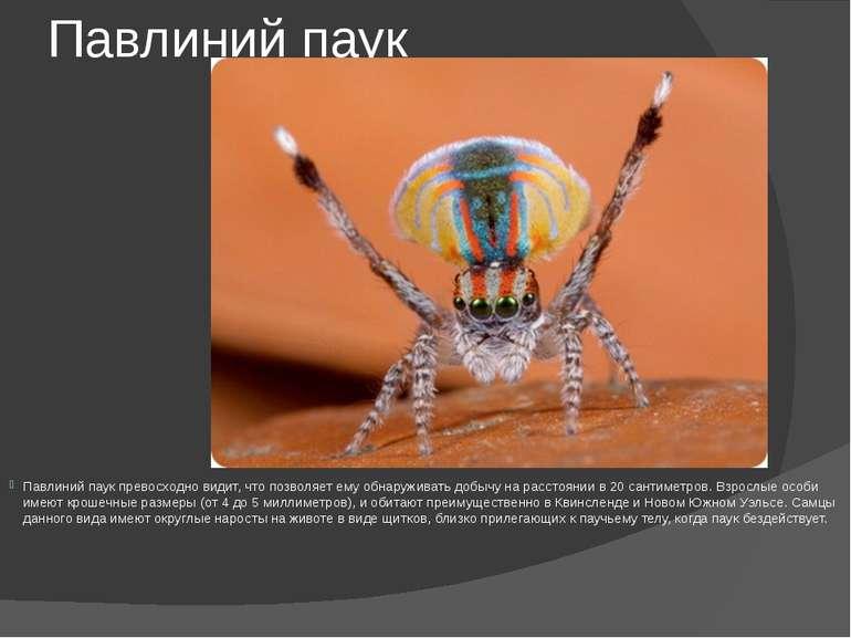 Павлиний паук Павлиний паук превосходно видит, что позволяет ему обнаруживать...