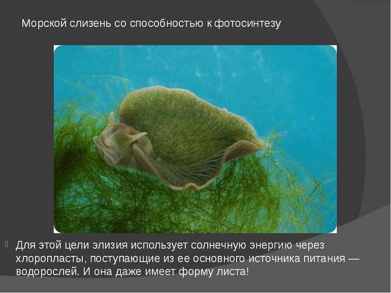 Морской слизень со способностью к фотосинтезу Для этой цели элизия использует...