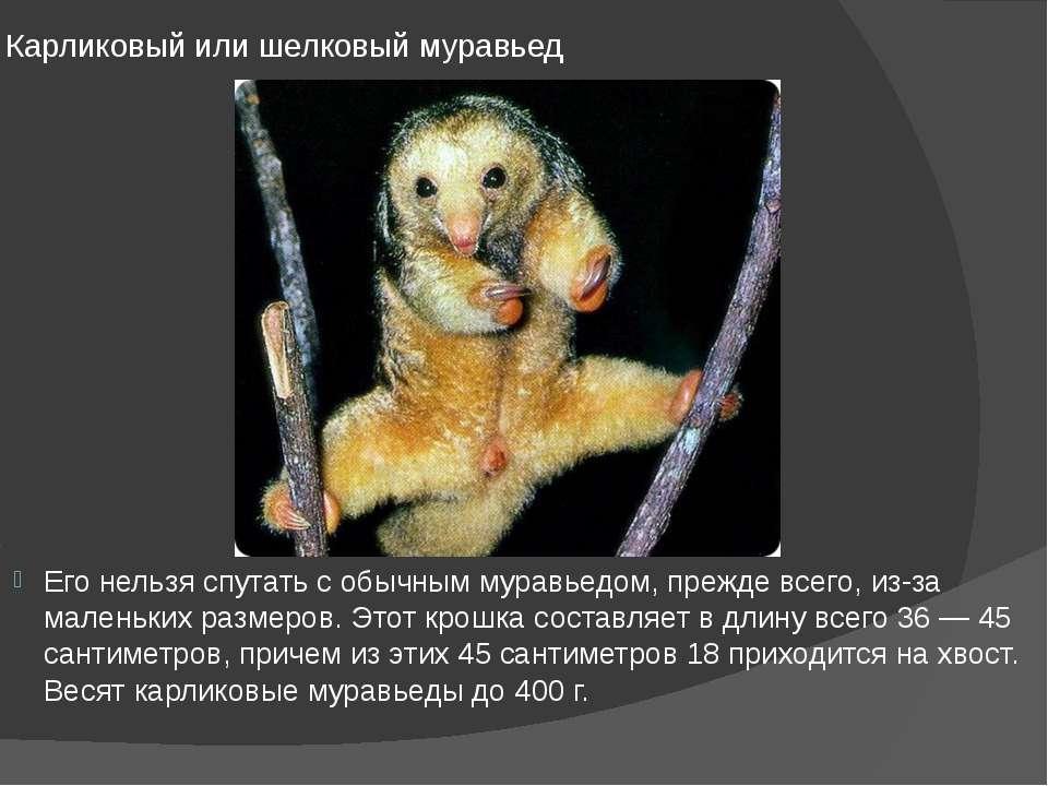 Карликовый или шелковый муравьед Его нельзя спутать с обычным муравьедом, пре...