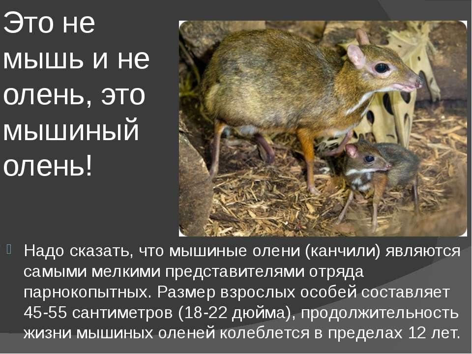 Это не мышь и не олень, это мышиный олень! Надо сказать, что мышиные олени (к...
