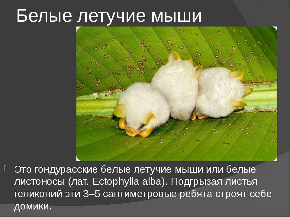 Белые летучие мыши Это гондурасские белые летучие мыши или белые листоносы (л...