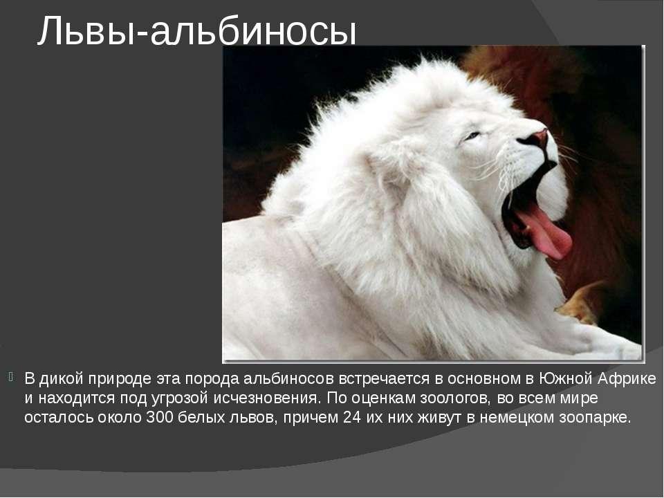 Львы-альбиносы В дикой природе эта порода альбиносов встречается в основном в...