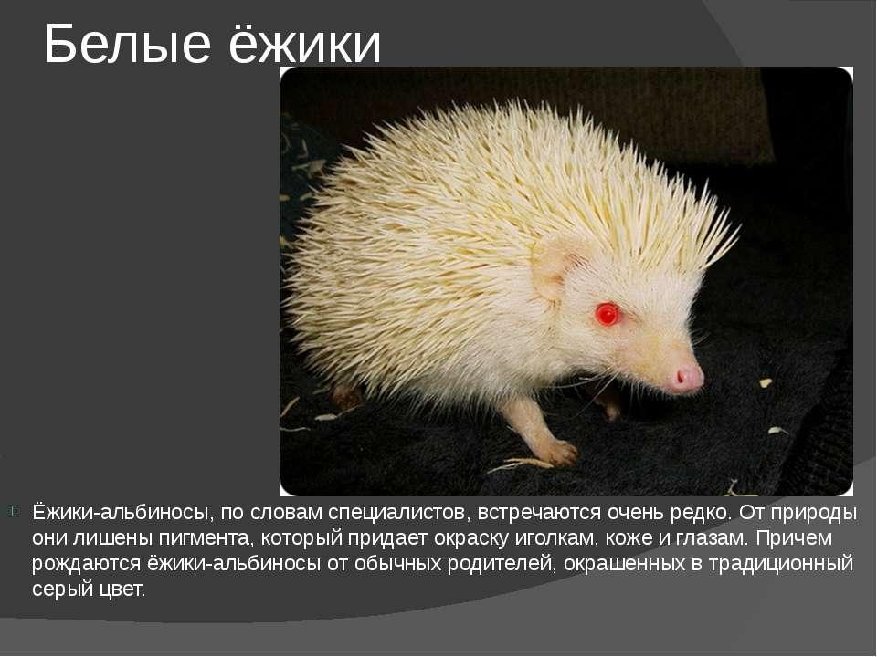 Белые ёжики Ёжики-альбиносы, по словам специалистов, встречаются очень редко....