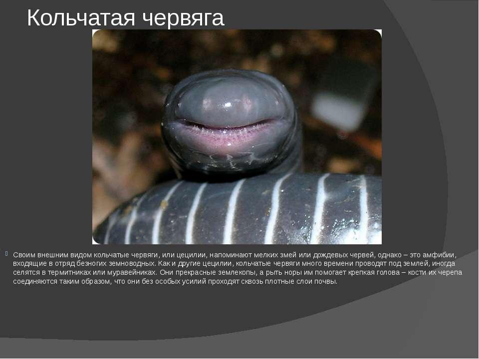 Кольчатая червяга Своим внешним видом кольчатые червяги, или цецилии, напомин...