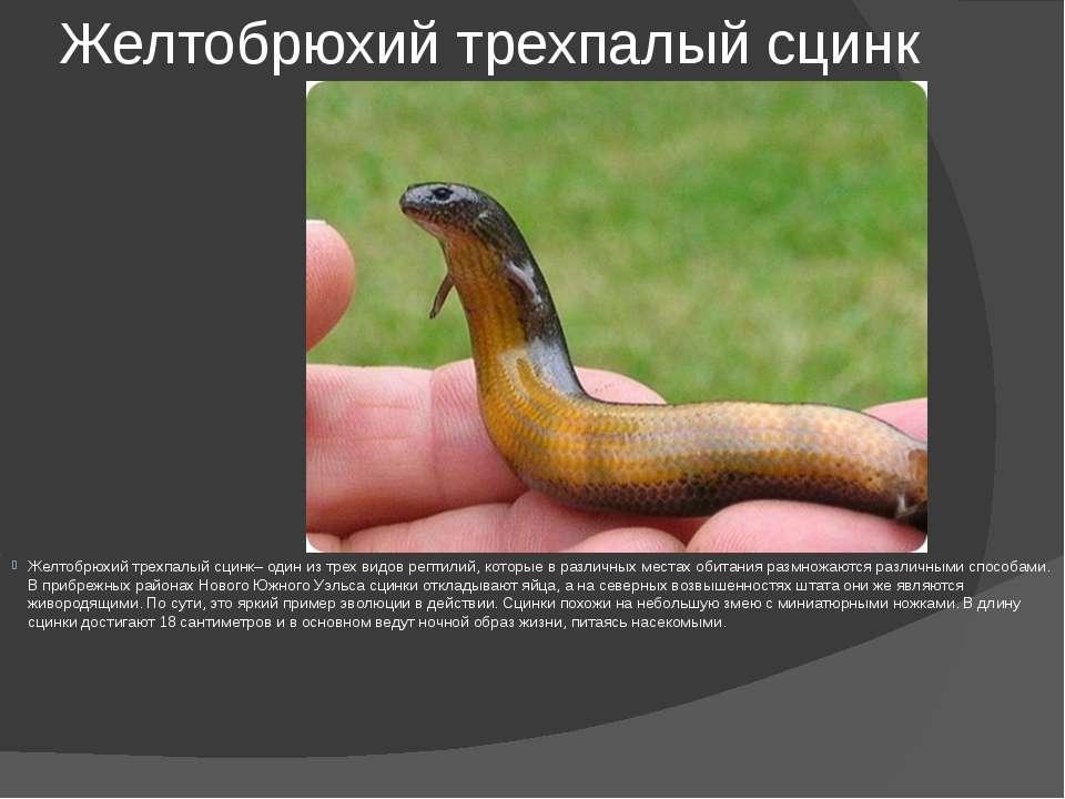 Желтобрюхий трехпалый сцинк Желтобрюхий трехпалый сцинк– один из трех видов р...