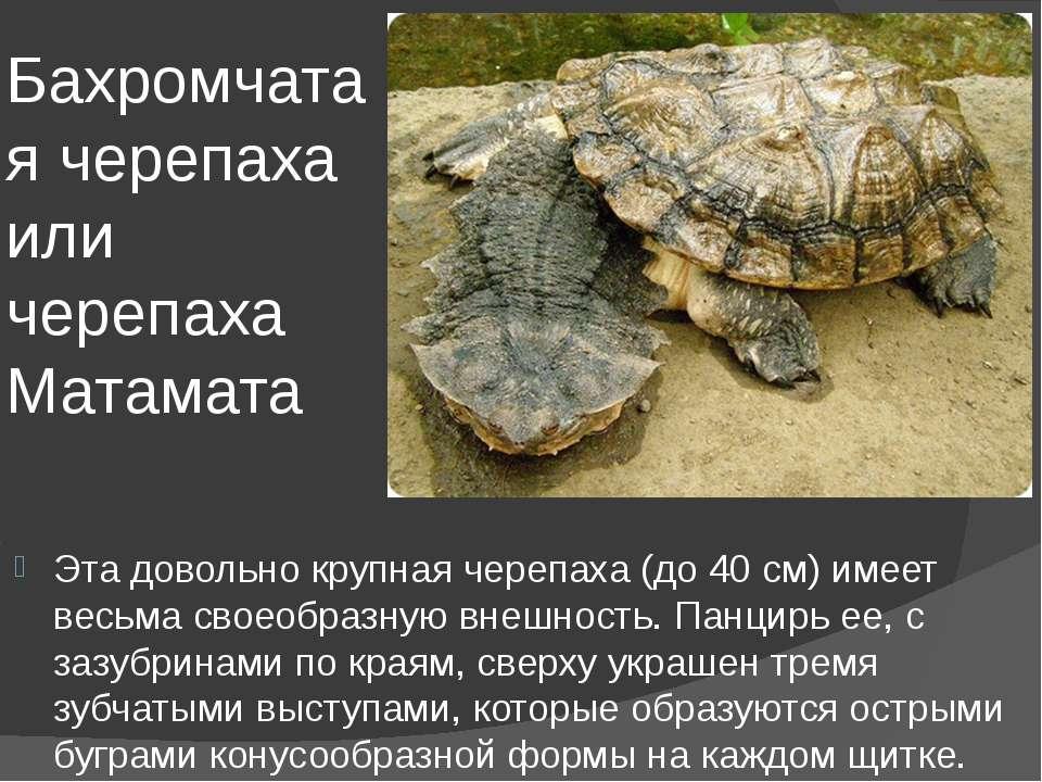 Бахромчатая черепаха или черепаха Матамата Эта довольно крупная черепаха (до ...