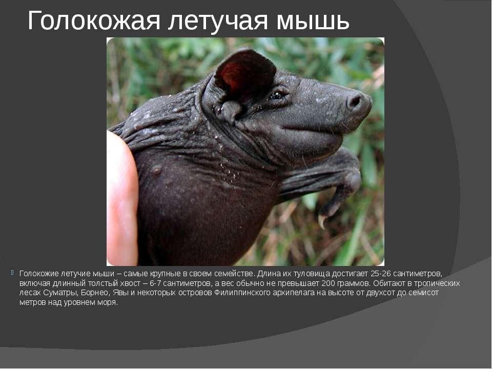 Голокожая летучая мышь Голокожие летучие мыши – самые крупные в своем семейст...
