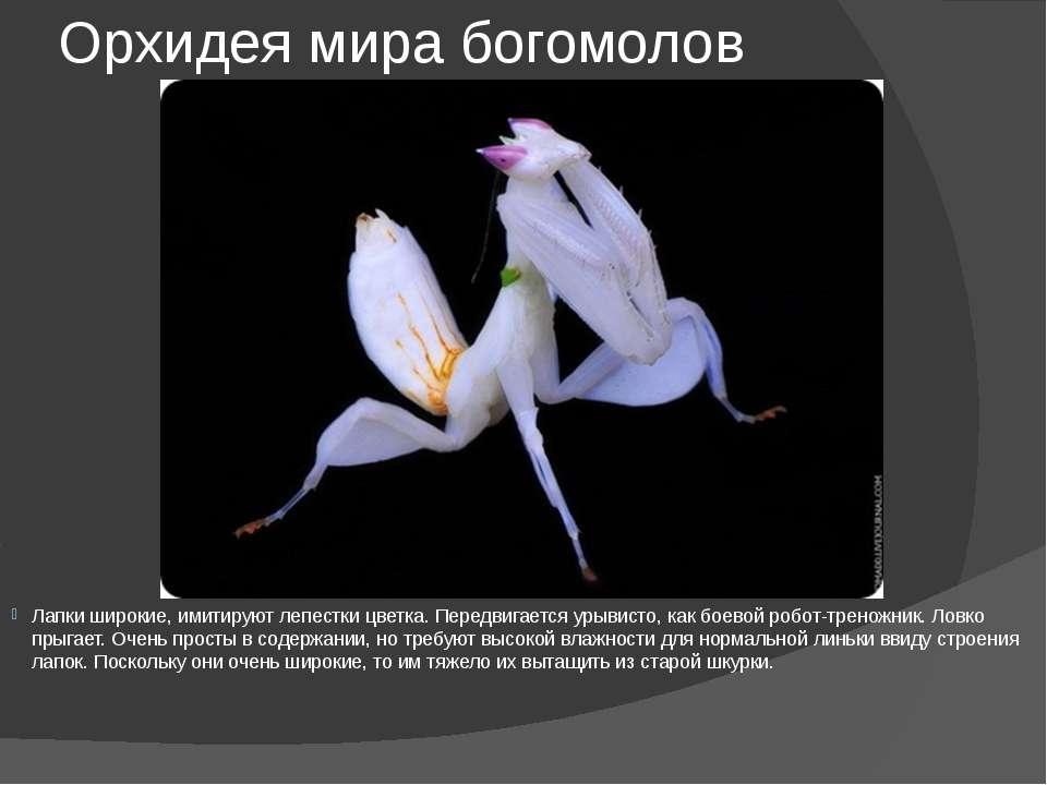 Орхидея мира богомолов Лапки широкие, имитируют лепестки цветка. Передвигаетс...