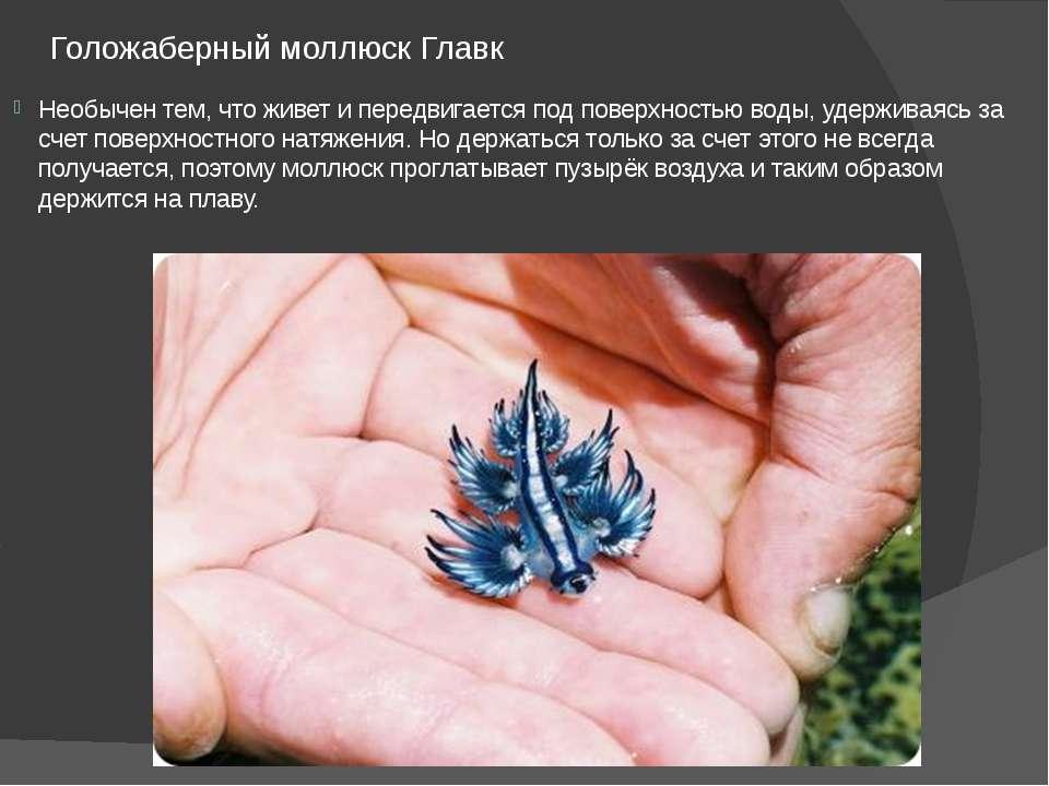 Голожаберный моллюск Главк Необычен тем, что живет и передвигается под поверх...