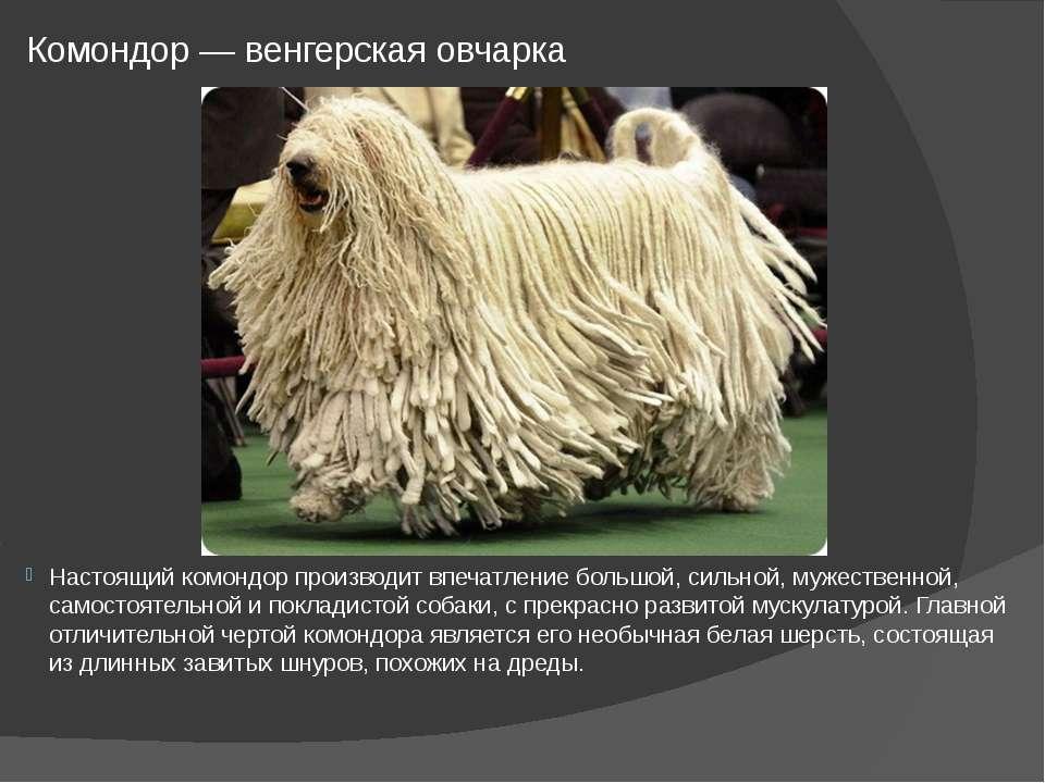 Комондор — венгерская овчарка Настоящий комондор производит впечатление больш...