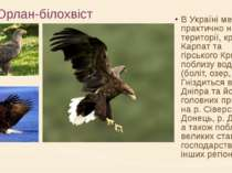 Орлан-білохвіст В Україні мешкає практично на всій території, крім Карпат та ...