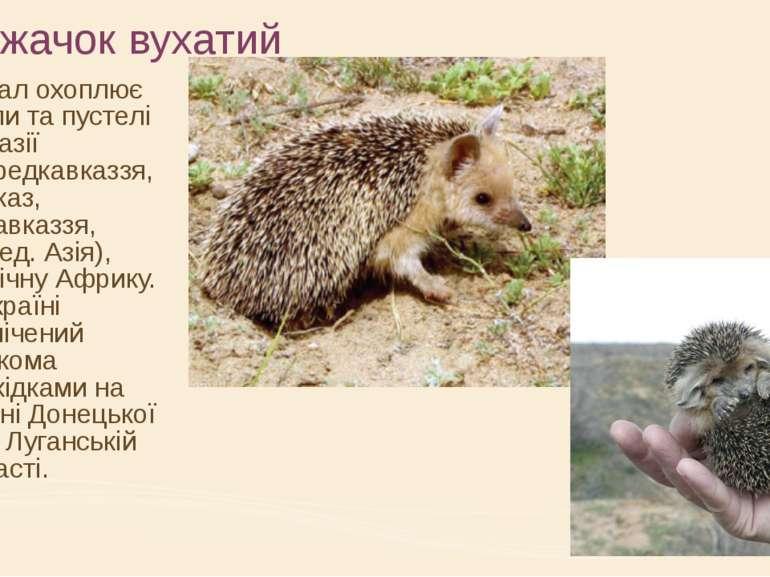 Їжачок вухатий Ареал охоплює степи та пустелі Євразії (Передкавказзя, Кавказ,...