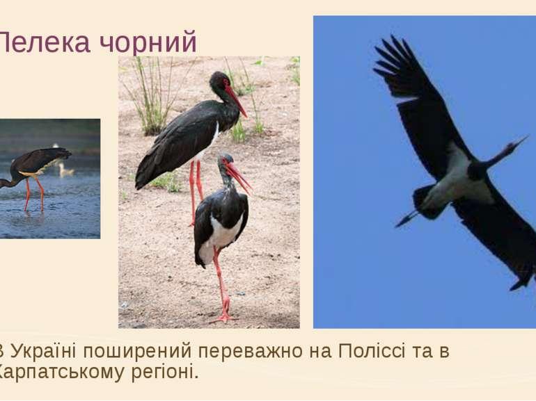 Лелека чорний В Україні поширений переважно на Поліссі та в Карпатському регі...