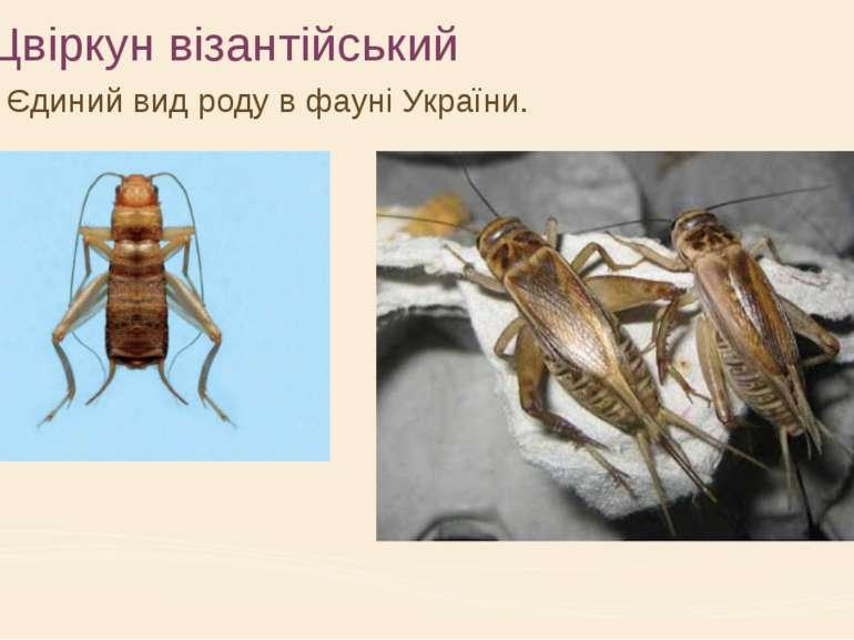 Цвіркун візантійський Єдиний вид роду в фауні України.