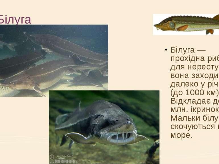 Білуга Білуга — прохідна риба; для нересту вона заходить далеко у річки (до 1...