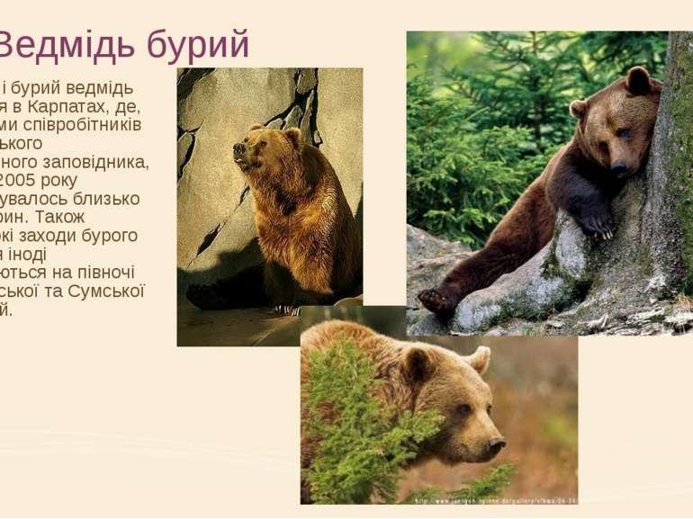 Ведмідь бурий В Україні бурий ведмідь водиться в Карпатах, де, за даними спів...