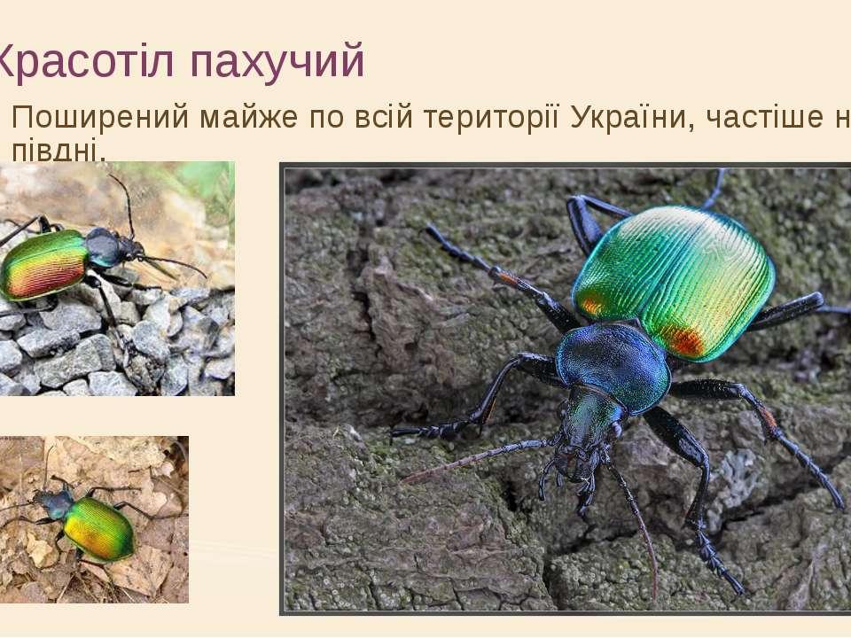 Красотіл пахучий Поширений майже по всій території України, частіше на півдні.