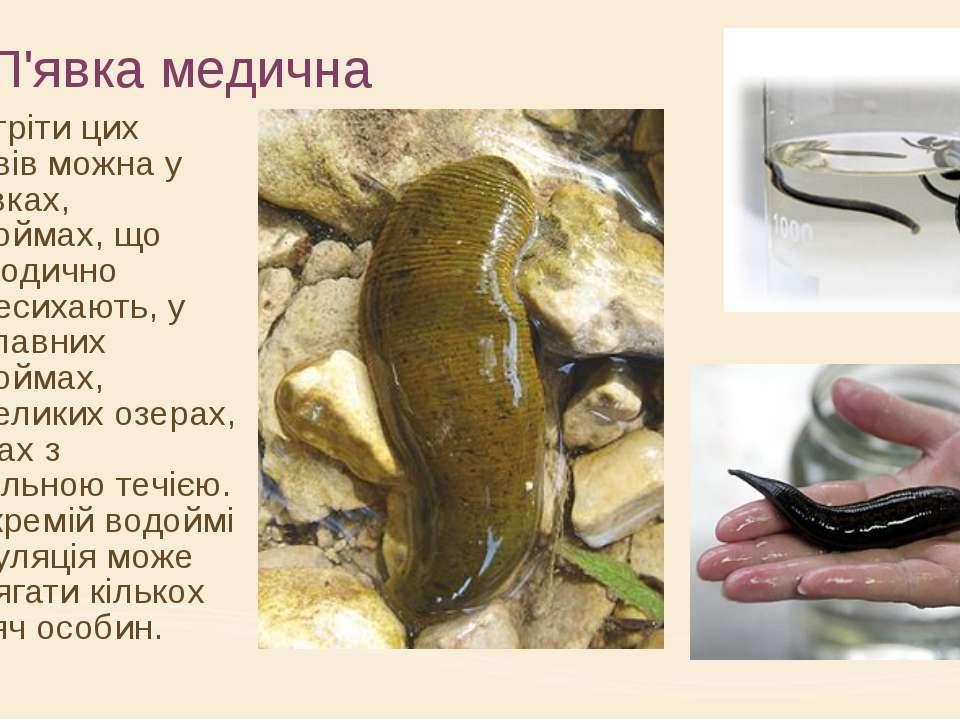 П'явка медична Зустріти цих червів можна у ставках, водоймах, що періодично п...