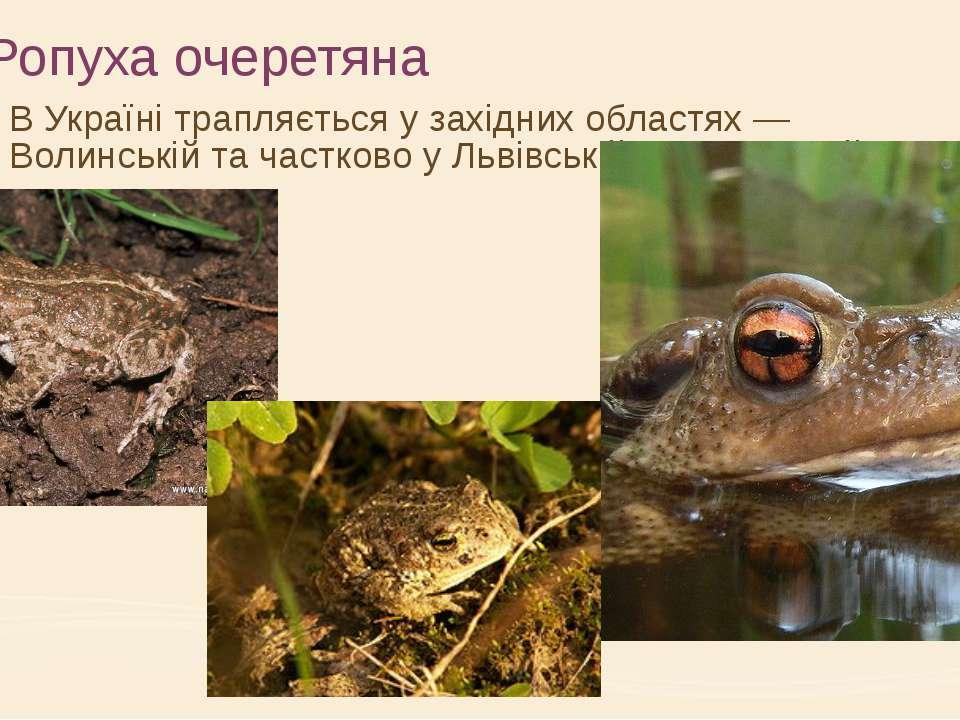 Ропуха очеретяна В Україні трапляється у західних областях — Волинській та ча...