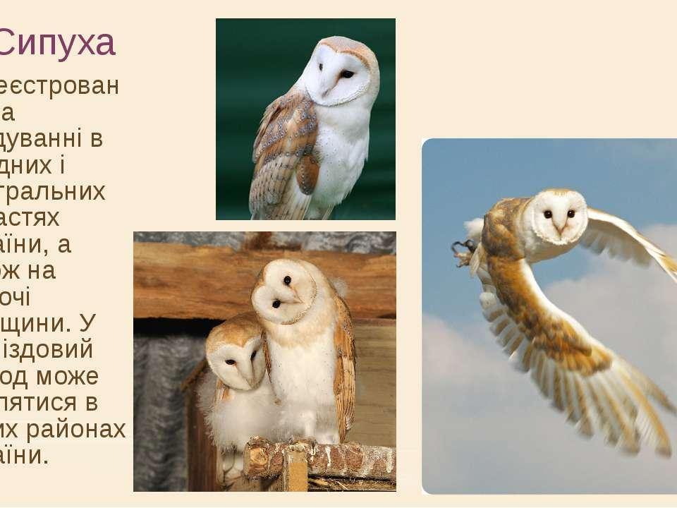 Сипуха Зареєстрований на гніздуванні в західних і центральних областях Україн...