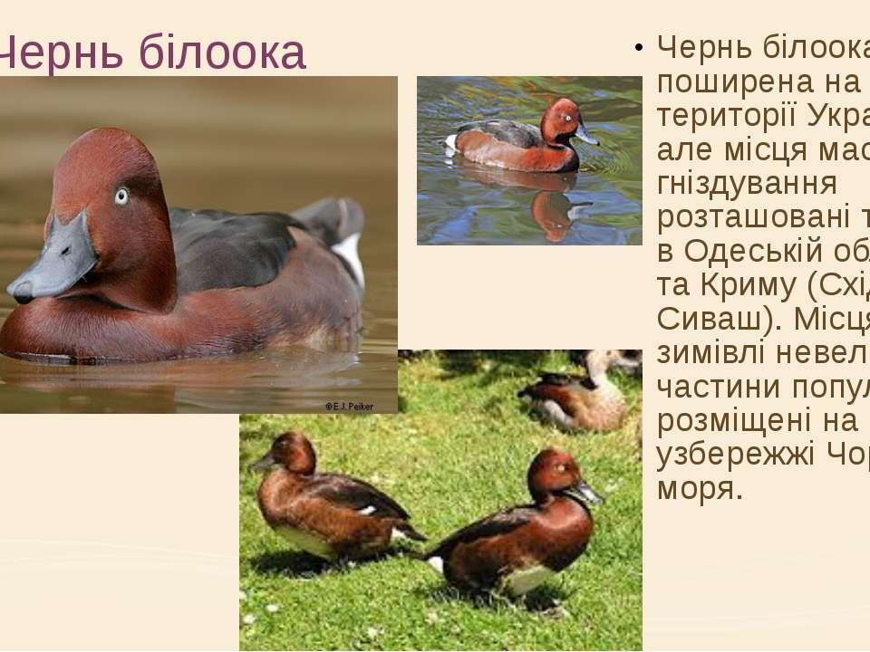 Чернь білоока Чернь білоока поширена на усій території України, але місця мас...