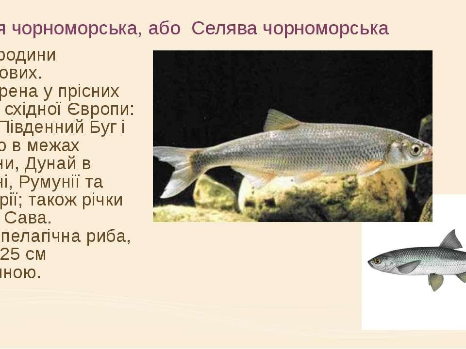 Шемая чорноморська, або Селява чорноморська риба родини коропових. Поширена у...