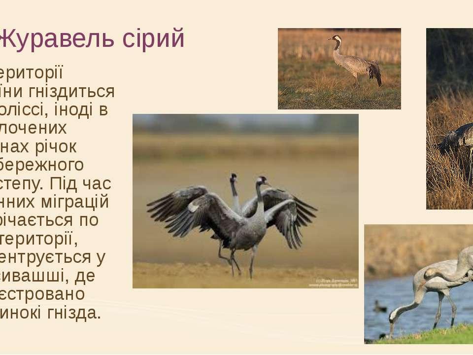 Журавель сірий На території України гніздиться на Поліссі, іноді в заболочени...