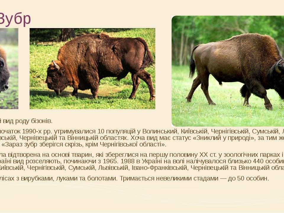 Зубр європейський вид роду бізонів. В Україні на початок 1990-х рр. утримувал...