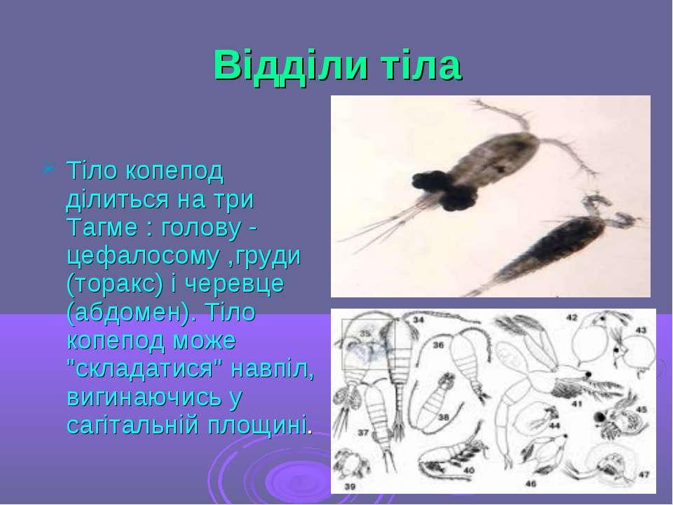 Відділи тіла Тіло копепод ділиться на три Тагме : голову - цефалосому ,груди ...