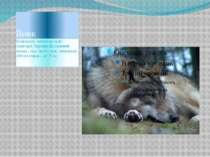 Вовк Поширенй майже по всій території України. Це сильний хижак , тіло якого ...